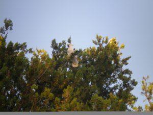Backyard Cockatoos